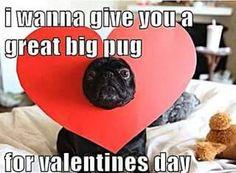A pug valentine