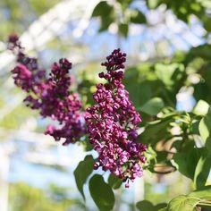 Syreenit ovat puhkeamassa kukkaan!  #flör #flör2017 #syreeni #syringavulgaris #syringa #florkukkajapuutarha #kukkajapuutarhaflör #kukkakauppa #piha #puutarha #turku #kissmyturku #love_turku  #flowerstagram #flowerinspo #natureinspires #natureinspired