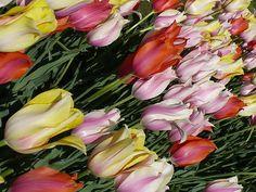 a beautiful image of painterly tulips! #tulips