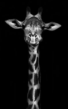 kero.i.am The giraffe with a black background black and white art