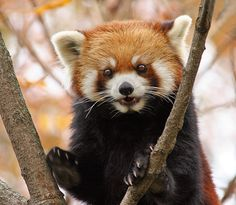 The red panda (Ailurus fulgens), also called lesser panda and red cat-bear - but it is not part of the bear family