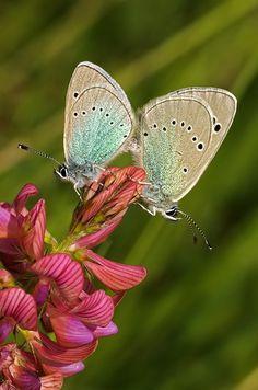 Alexis-Bläulinge (Glaucopsyche alexis) - Berg bei Euerdorf (UFR), 30. April 2014 Butterflies, Butterfly