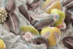 Awesome Microscope Images of Pollen Grains (17 pics) - Picture
