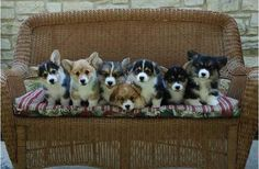 one corgi is never enough. This is cute overload. Z