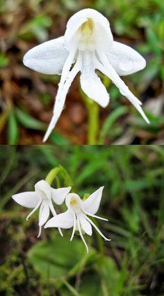 Orchid Angel - Orquídea Anjo (Habenaria grandifloriformis)