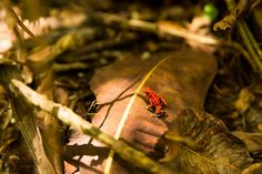 Oophaga pumilio, ou rã-morango, é uma espécie de anfíbio que vive na América Central (Panamá, Costa Rica e Nicarágua). Caracteriza-se por possuir diferentes colorações muito chamativas, como o verm...