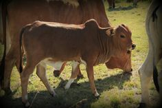 Boran Rice Paddy, Fawn Colour, Beef Cattle, Balinese, Cows, Black And Brown, Animals, Animales, Animaux
