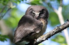 Northern Saw-whet Owl juvenile watching me walk to work at #mukluks #stegermukluks mukluks.com in #Ely #MN