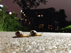 A couple of snails taking their slow journey to the opposite lawn-yard. At Namsan park, Seoul, Korea.