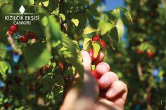 Kahvaltının olmazsa olmazlarından kızılcık ekşisi doğanın Çankırı'ya adeta hediyesi! Çankırı'mızı ziyaret ettiğinizde Kızılcık ağaçlarının doğayla bütünleşmesine şahitlik edeceksiniz. Meyve verdiğinde yapraklarının arasında kırmızı rengiyle doğanın ahengine katkı yapan bu ağaçlar, hem hususi bakımı yapılan bağlarda hem de ormanlarda yerini alır.