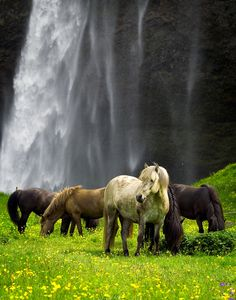 Mustangs - Wild Horses graze in peace, Iceland - You can almost hear the pounding tall waterfall and smell the yellow wildflowers. This peaceful scene snuck quickly into my MOST POPULAR RE-PINS qualification for that special #Pinterest board. What a wonderful RESTFUL PLACES photo... great place for a blanket and a book! #DdO) - https://www.pinterest.com/DianaDeeOsborne/restful-places/ - Pinned via Jason Pos' #HORSES board.