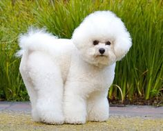 My dog, Max, looked just like this one. He was a Bijon Frise. He was just adorable!!! I miss him