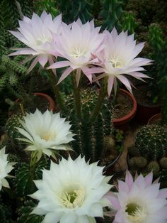Echinopsis oxygona (Easter Lily Cactus) → Plant characteristics and more photos at: http://www.worldofsucculents.com/?p=2826