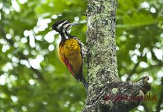 One of the very common woodpecker in Singapore