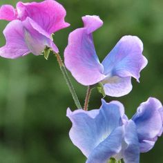 Sweet Pea 'Blue Shift' - From early summer through until early autumn this variety produces a profusion of pretty blooms on wiry stems, which are ideal for little hands to pick and add to posies or vases indoors