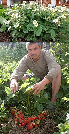 Toto poraďte každému záhradkárovi: O takej úrode jahôd sa vám ani nesnívalo! Kew Gardens, Outdoor Gardens, Tree Leaf Identification, Growing Strawberries In Containers, Strawberry Garden, Forest Garden, Tree Leaves, Plantar, Cucumber Salad