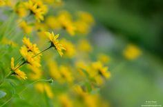 As yellow as charming :) by Aziz Nasuti on Charmed, Yellow, Nature, Plants, Painting, Sun, Naturaleza, Painting Art, Paintings