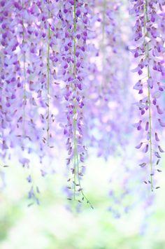 以前、梅の写真の時にもちらりとお話しましたが、こちらは私のお宮参りの神社、亀戸天神の藤です。  天神様なので梅も有名ですが、歌川広重の【名所江戸百景】にも描かれた藤の名所でもあります。もう盛りを過ぎているので、太鼓橋と藤の画は撮れませんでしたが、一か所だけ、藤のまだ咲いている棚がありました^^  すっかり初夏の陽気です。