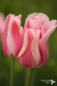 Candy Kisses Tulips - in the Twilight