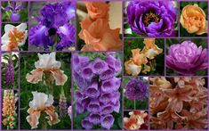TALL BEARDED IRIS AND COMPANION PLANTS - from blog Sowing the Seeds - susannespiker.blogspot.com.au