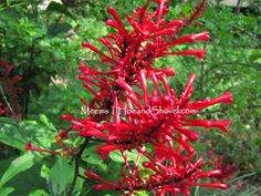 Firespike for hummers and summer color!  #Florida #garden