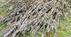 Att fläta i pil är både enkelt och vackert. Så här gör du ett tjusigt konformat växtstöd till din trädgård eller balkong! Pil, Plants, Flora, Plant