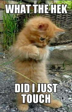 This little orange t This little orange tabby kitten is the cutest thing! This little orange t This little orange tabby kitten is the cutest thing! Funny Animal Jokes, Funny Cat Memes, Funny Animal Videos, Cute Funny Animals, Funny Cats, Hilarious, Funny Cat Pics, Funny Captions, Funny Dog Pictures