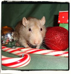 Aspen my old guy, via Flickr. Christmas Rats