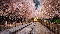 Páfrányfenyő, Japán - szegediszatír - indafoto.hu