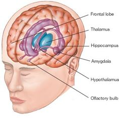 The study of the brain is called neuropsychology and it's a huge topic. Most textbooks will go into much more detail than I will and there are hundreds of helpful websites on brain science. Brain Anatomy, Human Body Anatomy, Human Anatomy And Physiology, Brain Stem, Brain Science, Life Science, Computer Science, Whole Brain Teaching, Teaching Biology