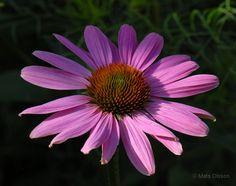 Rudbeckia 'Magnus', Echinacea purpurea 'Magnus' - luumupuun ryhmään