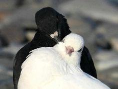 Black and white pigeon Pretty Birds, Beautiful Birds, Animals Beautiful, Cute Animals, All Birds, Love Birds, Dove Pigeon, White Pigeon, Lovely Eyes