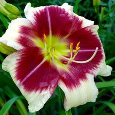 #nofilter #daylily #garden #illinois The Daylily, 'RASPBERRY CHAMBORD ICE'
