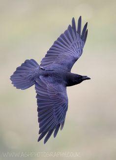 Birds ©: Common Raven [photo by albi]. Beautiful Birds, Animals Beautiful, Choucas Des Tours, Quoth The Raven, Dark Wings, Raven Art, Crow Art, Jackdaw, Crows Ravens