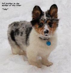 Sheltie x Corgi mix blue merle pup Puppies And Kitties, Cute Puppies, Cute Dogs, Doggies, Kittens, Welsh Sheepdog, Pembroke Welsh Corgi, Shetland Sheepdog, Animals And Pets