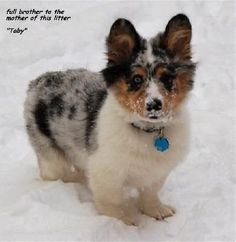 I dont have baby fever...I have puppy fever. ): This guy is adorable. Mini Aussie/Corgi mix. <3