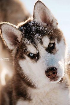 http://animals-everywhere.com/post/112203785330/wolverxne-siberian-husky-puppy-by-jesse #SiberianHusky #siberianhuskypuppy