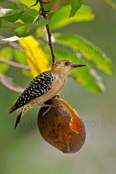 En nuestro maravilloso país, es posible apreciar diferentes especies de aves ...entre ellas se encuentra este bellísimo pájaro, El tordito!