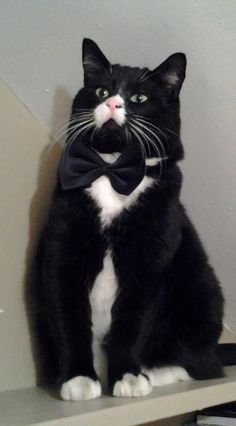 .The Super Formal Tuxedo Cat.                           (KO) When this is finally over he's going to shred that bow tie. Then he may go for the camera person's legs.