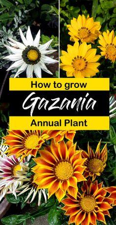 How to grow Gazania annual Plant | Growing Gazania seeds indoors Fast Growing Plants, Growing Flowers, Planting Flowers, Flowering Plants, Potted Flowers, Shade Perennials, Shade Plants, Water Plants, Gazania Flowers