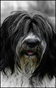 Schapendoes / Dutch Sheepdog / Dutch Schapendoes / Nederlandse Schapendoes Puppy Dog
