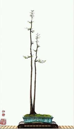 un double tronc en literati Succulent Bonsai, Terrarium Plants, Bonsai Plants, Bonsai Garden, Garden Trees, Succulents, Mini Zen Garden, Bonsai Styles, Mini Bonsai