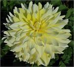 "Swan Island Dahlias providing the highest quality dahlia bulbs and dahlia flower - * Over 10"" Blooms - Page 2"
