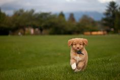 Introducing... Denver the Duck Toller! by project-b, via Flickr