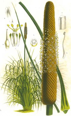 """Xanthorrhoea hastile, reproduced from """"Capturing Flora: 300 years of botanical illustration"""""""