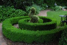 Boxwood or Buxus is an evergreen shrub that plays an integral role in garden design.