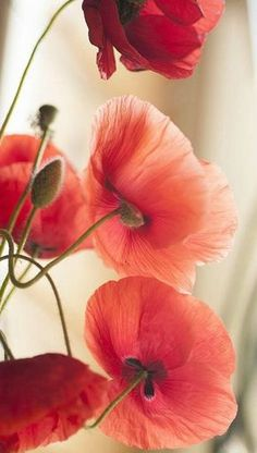 The remembrance poppy (a Papaver rhoeas) Wild Flowers, Beautiful Flowers, Poppy Flowers, Purple Flowers, Red Poppies, Poppies Art, Poppies Tattoo, Belle Photo, Mother Nature