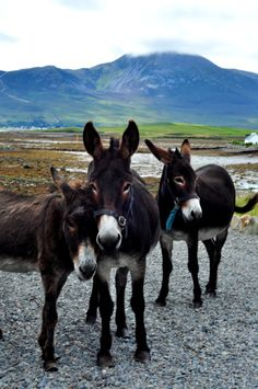 Donkeys in front of Craogh Patrick, Westport, County Mayo, Ireland.