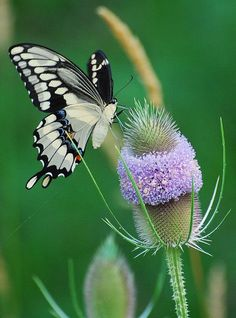 Swallowtail butterflies are large,   colorful butterflies in the family Papilionidae, which includes over 550   species.