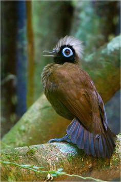 Antbird - ©Glenn Bartley (via 500px)
